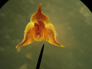 tiny orchid bloom seen through microscope with head of needle for size comarison