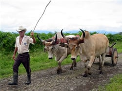 Many farmers still use oxen to plow their fields and horses are still a primary mode of transportation in Costa Rica for campasinos.